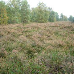 16 Heide
