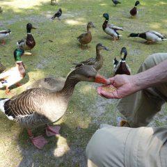 20 Enten füttern in der Vogelkoje
